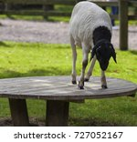somali black headed sheep... | Shutterstock . vector #727052167