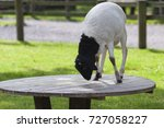 somali black headed sheep... | Shutterstock . vector #727058227