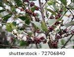 Detail Of Coffee Blossom Tree...
