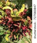 Small photo of Blume Croton Euphorbiaceae beautiful yellow green ping red kosol herb