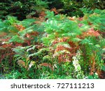 Common Bracken  Pteridium...