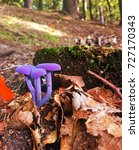 Small photo of Edible wild mushroom amethyst deceiver