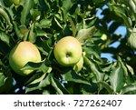 green apples on the tree | Shutterstock . vector #727262407
