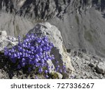 Small photo of Alpine bluebells and rock