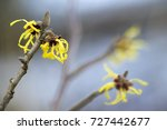 Blooming Witch Hazel  Hamameli...