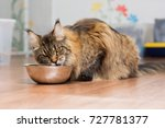 Maine Coon's Large Adult Cat...