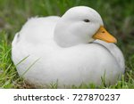 white male call duck | Shutterstock . vector #727870237