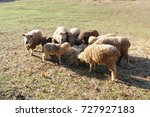 Small photo of Sheep Gathering