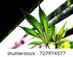 marijuana plant  growing... | Shutterstock . vector #727974577
