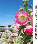 Small photo of Pink hollyhocks alcea rosea flower in front of ruins of an abbey, Re Island, France