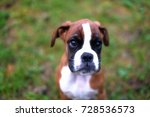 puppy boxer on summer nature | Shutterstock . vector #728536573