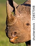 Head shot of a black Rhino, clearly showing the mouth and hooked lip - stock photo