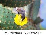 common cactus finch  geospiza...   Shutterstock . vector #728596513