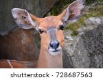 Small photo of The nyala (Tragelaphus angasii) is a spiral-horned antelope native to Southern Africa. It is a species of the family Bovidae and genus Nyala, also considered to be in the genus Tragelaphus.