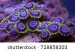 colorful purple hornet zoanthus ... | Shutterstock . vector #728858203
