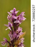 a southern marsh orchid or... | Shutterstock . vector #728882257