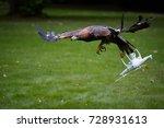 Golden Eagle  Aquila Chrysaeto...