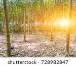 rubber tree forest so beautiful ... | Shutterstock . vector #728982847