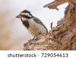 Small photo of An Acacia Pied Barbet in the Northern Cape, South Africa