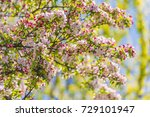 apple tree blossoms  | Shutterstock . vector #729101947