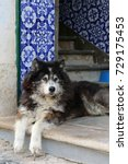 too hot for a husky dog  ... | Shutterstock . vector #729175453