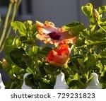 orange suffused with carmine...   Shutterstock . vector #729231823