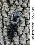 Small photo of Eyed Click Beetle (Alaus oculatus) on tree bark