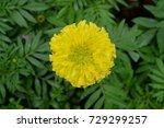 marigold flowers in the garden. | Shutterstock . vector #729299257