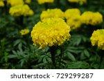 marigold flowers in the garden. | Shutterstock . vector #729299287