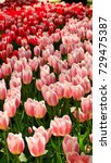 beautiful pink and red tulips | Shutterstock . vector #729475387