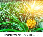 pineapple tropical fruit... | Shutterstock . vector #729488017