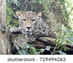 persian leopard  panthera... | Shutterstock . vector #729494263