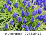 Armenian Grape Hyacinth Muscar...