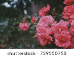 pink flowers in a downtown... | Shutterstock . vector #729550753