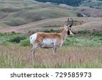 Close Up Of A Male Pronghorn...