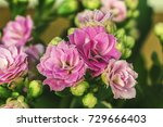 white pink flowers of kalanchoe ... | Shutterstock . vector #729666403