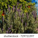 scented purple  flowers of... | Shutterstock . vector #729721597