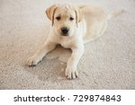 Stock photo cute puppy lying on carpet near wet spot 729874843