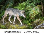grey wolf in a nordic forest in ...   Shutterstock . vector #729975967
