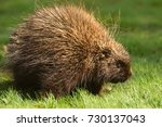 porcupine close up  canada  | Shutterstock . vector #730137043