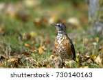 juvenile american robin in... | Shutterstock . vector #730140163