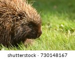 porcupine close up  canada  | Shutterstock . vector #730148167