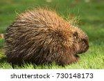 porcupine close up  canada  | Shutterstock . vector #730148173