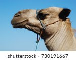 arabic camel head close up... | Shutterstock . vector #730191667