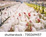 indoors chicken farm  chicken... | Shutterstock . vector #730269457