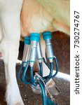 Small photo of Cows utter and pipelines while milking operation, Franche Comte, France.