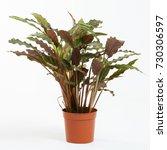 indoor plant calathea rufibarba ... | Shutterstock . vector #730306597