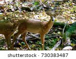 Small photo of Two lady deer roaming the woods at Shale Hallow Nature Preserve in Central Ohio.