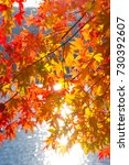 autumn color red maple in... | Shutterstock . vector #730392607