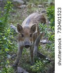 juvenile wild boar  sus scrofa  ... | Shutterstock . vector #730401523